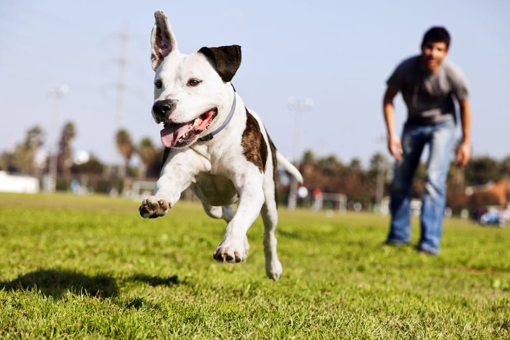 Dog Recall: Get Your Dog To Come Back Every Time!